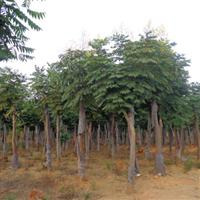 供应8米栾树