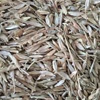 辽宁省糖槭种子/ 东北糖槭种子厂