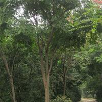 供应黄山栾树Φ23-28CM