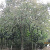 供应重阳木 胸径10-18CM