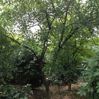 供应鸡爪槭 胸径4-10CM
