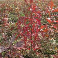 供应沼生栎