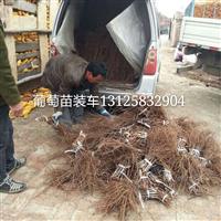 黑龙江葡萄苗,京亚葡萄苗出售夏黑葡萄苗
