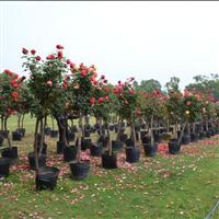 供应月季月季树高干月季
