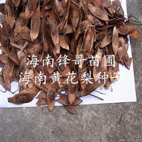 供应大量正宗优质海南黄花梨种子