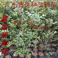 嘉宝果树苗、树葡萄、广东嘉宝果种苗