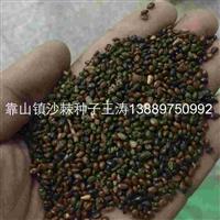 辽宁省沙棘种子/东北沙棘种子