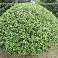 重庆植物租赁,重庆植物租摆公司之海桐