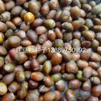 辽宁省红豆杉种子/东北红豆杉种子