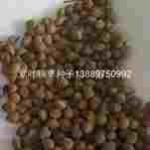 辽宁省紫叶稠李种子/东北紫叶稠李种子