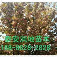 山东樱花,泰安基地,供应价格