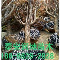 山东泰山樱花种植基地