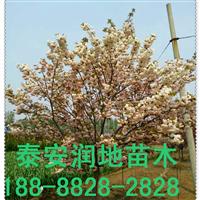 6公分樱花价格/樱花树/晚樱花