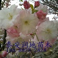 12公分樱花价格