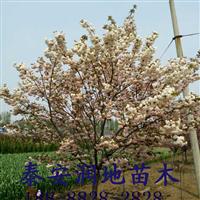 11公分樱花价格
