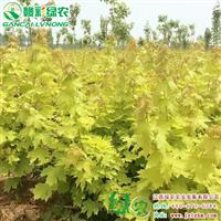 斯顿金黄金枫 彩叶槭品种 适宜种植在北方
