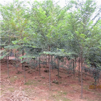 供应3-6公分榉树、朴树,3-10公分栾树