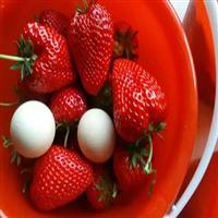 草莓苗大量批发 草莓吗哪里有