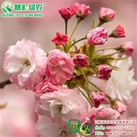松月樱 晚樱品种 江西樱花种植基地