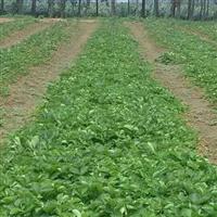 草莓树苗哪里有供应 草莓苗什么价格