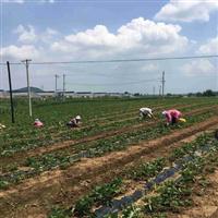 批发草莓苗哪里有 二代草莓苗价格供应