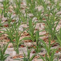 优质黄花菜种苗批发,源自黄花菜原产地