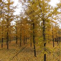 【供应】银杏,白皮松,油松等优质苗木