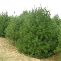 本苗圃现大量供应各种优质苗木