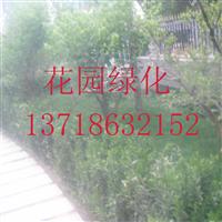 北京北海道黄杨批发18600996398