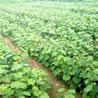 哪里有草莓苗出售 草莓苗供应价格