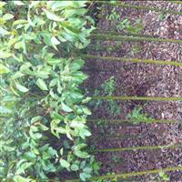 供应香樟小苗、芽苗、米径2-35公分香樟