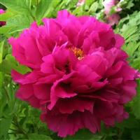 牡丹苗�N植基地 �G化�^�p牡丹花卉