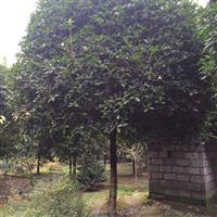 八月桂基地出售价格桂花树形桂花工程苗木