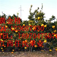 金橙柑苗 红金橙苗 金黄柑苗 金红柑苗