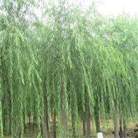 垂柳,白蜡,国槐,榆叶梅,金银木,紫叶李