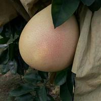 成都红心柚/成都三红柚/成都柚子苗批发