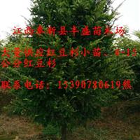 红豆杉苗、4-15公分红豆杉