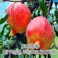 山东泰山红石榴苗专业生产基地