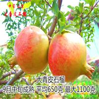 山东泰安大青皮甜石榴苗专业生产基地