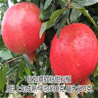 红如意软籽石榴树专业繁育基地科学种植