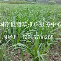 巨菌草产量高