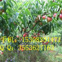 油桃苗基地 油桃树管理 油桃套袋