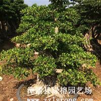福建造型小叶榕