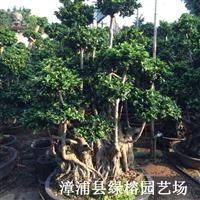 福建漳州盆景沙西榕树盆景