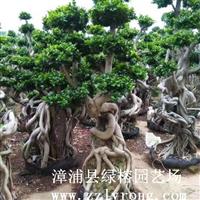 福建榕树盆景