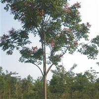 黄山栾树、西府海棠、合欢、水杉