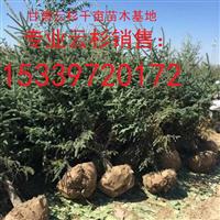 甘肃千亩云杉绿化树苗2米3米