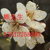 苏州别墅景观绿化、庭院景观绿化梅花树苗木