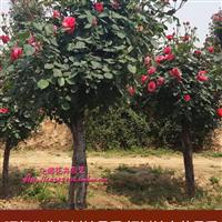 大量供应树桩月季1到5公分树桩月季