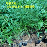 藤椒苗,藤椒产量,藤椒经济价值,藤椒苗出售